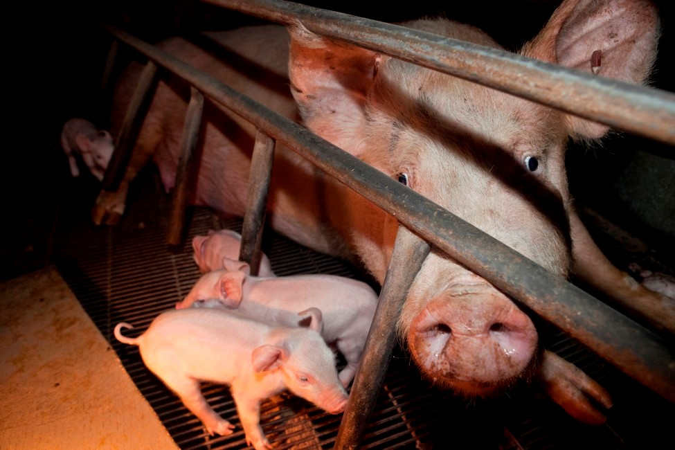 Australian Pig Farming: The Inside Story