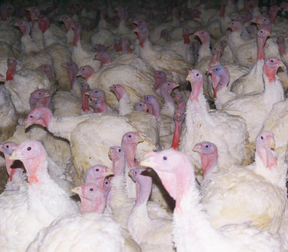Factory Farmed Turkeys